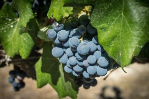 uvas -tempranillo -Pixabay -grapes-1618305_1280